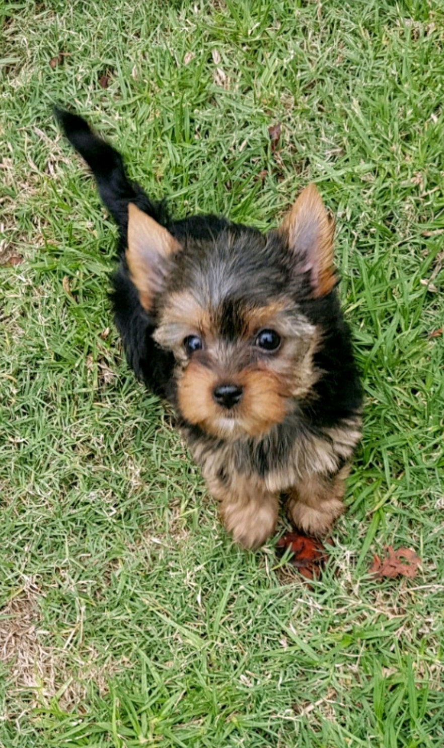 Small Yorkie puppies