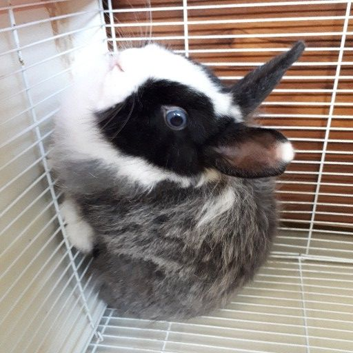 Dwarf Angora (Jersey) Woolie Rabbit