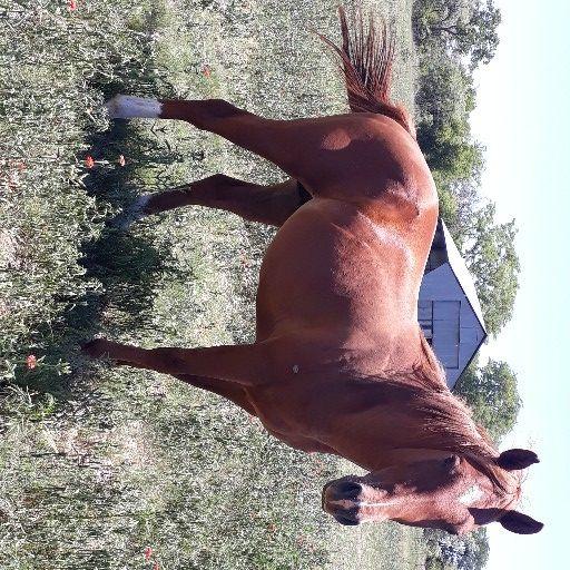 Geregistreerde Quarter horse hings