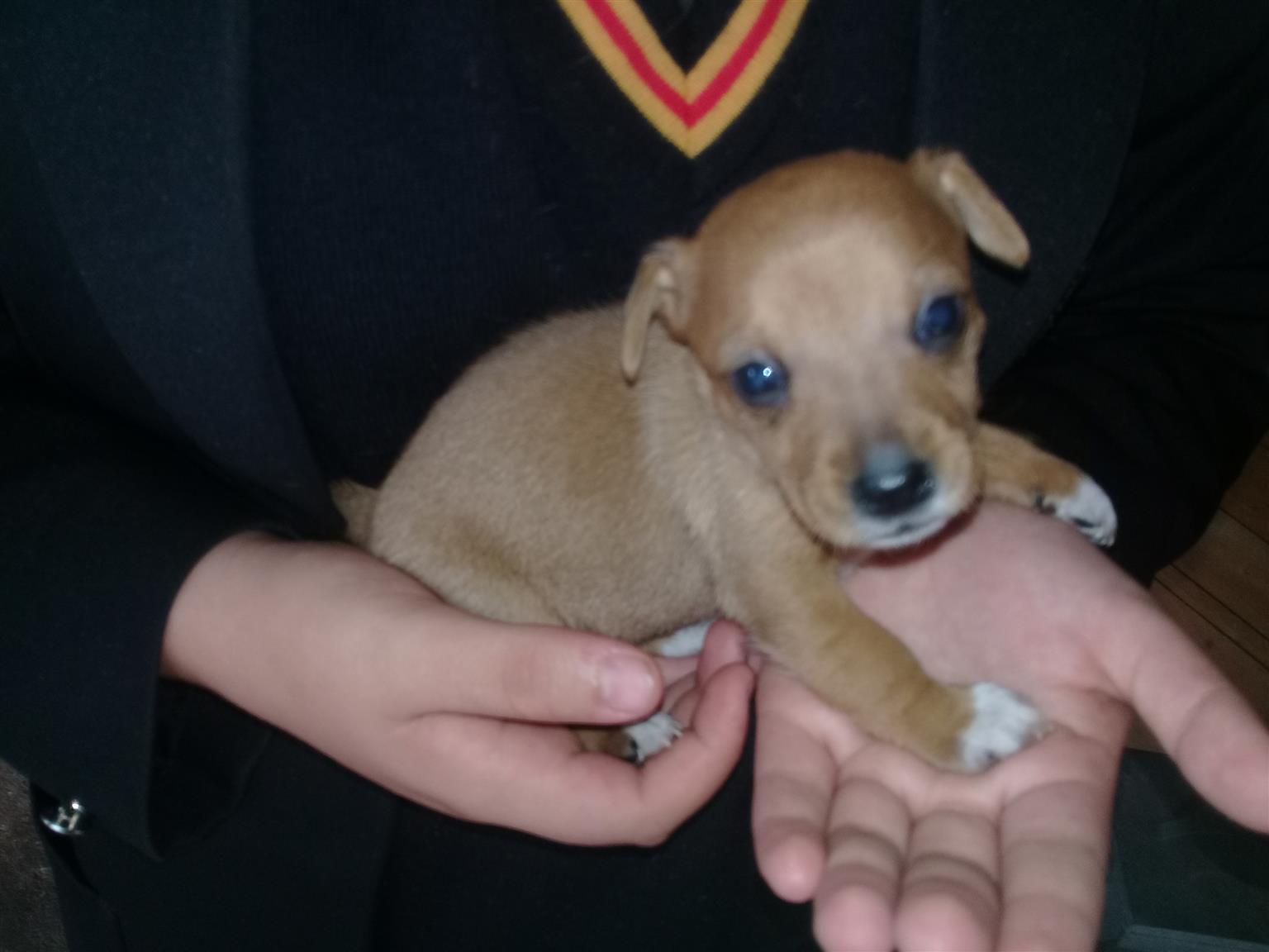Minuture Doberman Puppies