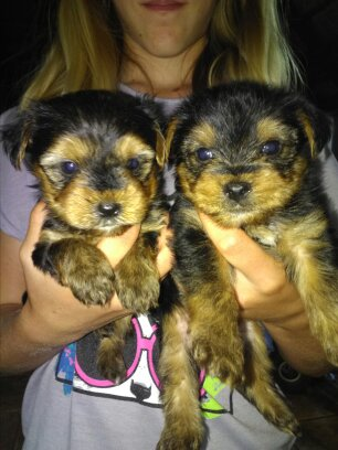 4 minature yorkies for sale 2 females and 2 males