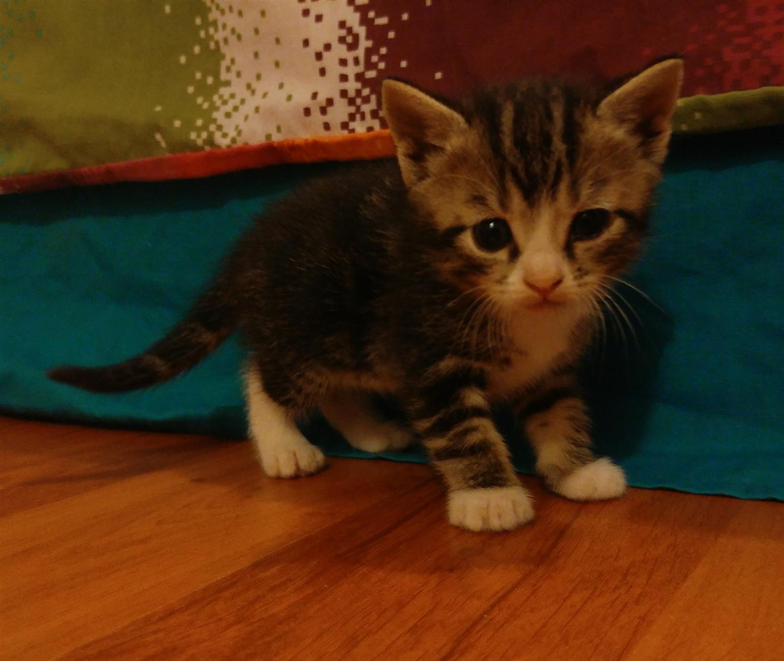 Adorable kittens 6 left