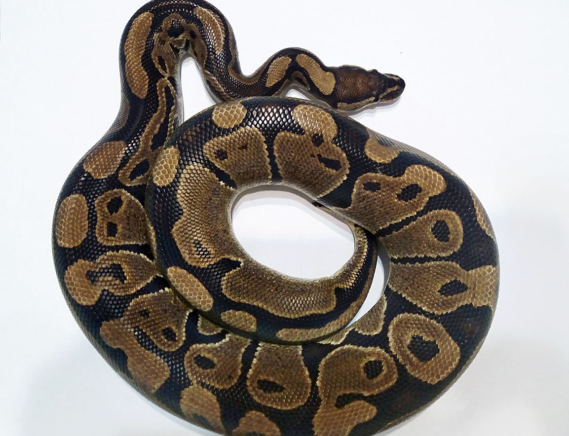 Normal Ball Python Female