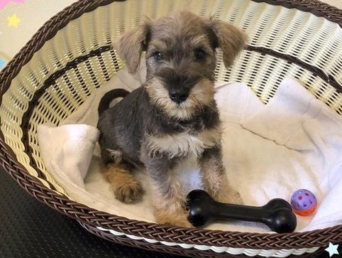 Miniature Schnauzer Puppies (Mini Schnauzer) - Boy & girl