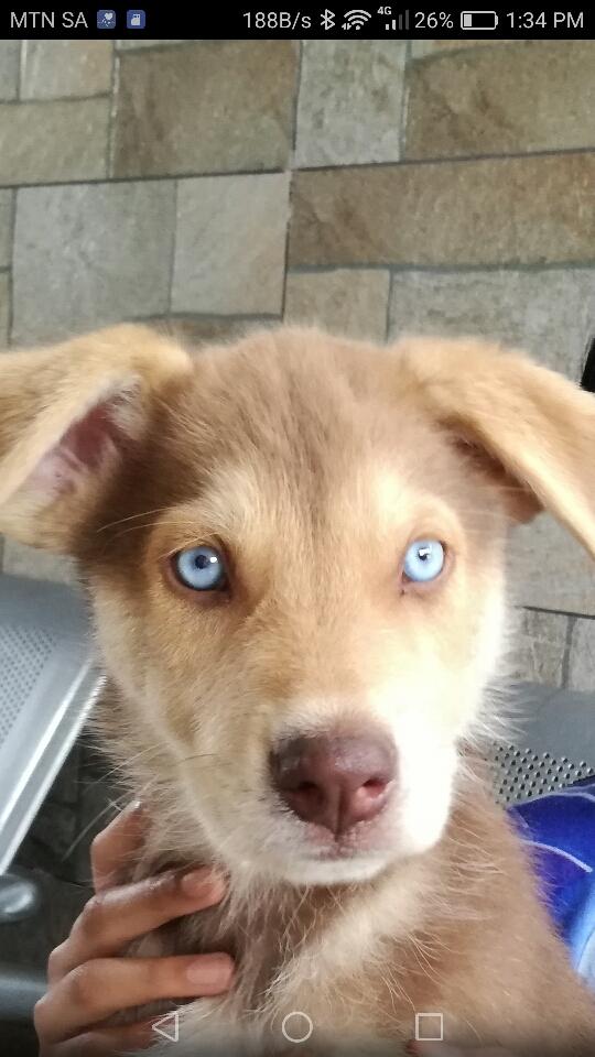 Husky X Shepherd ....great family pet....