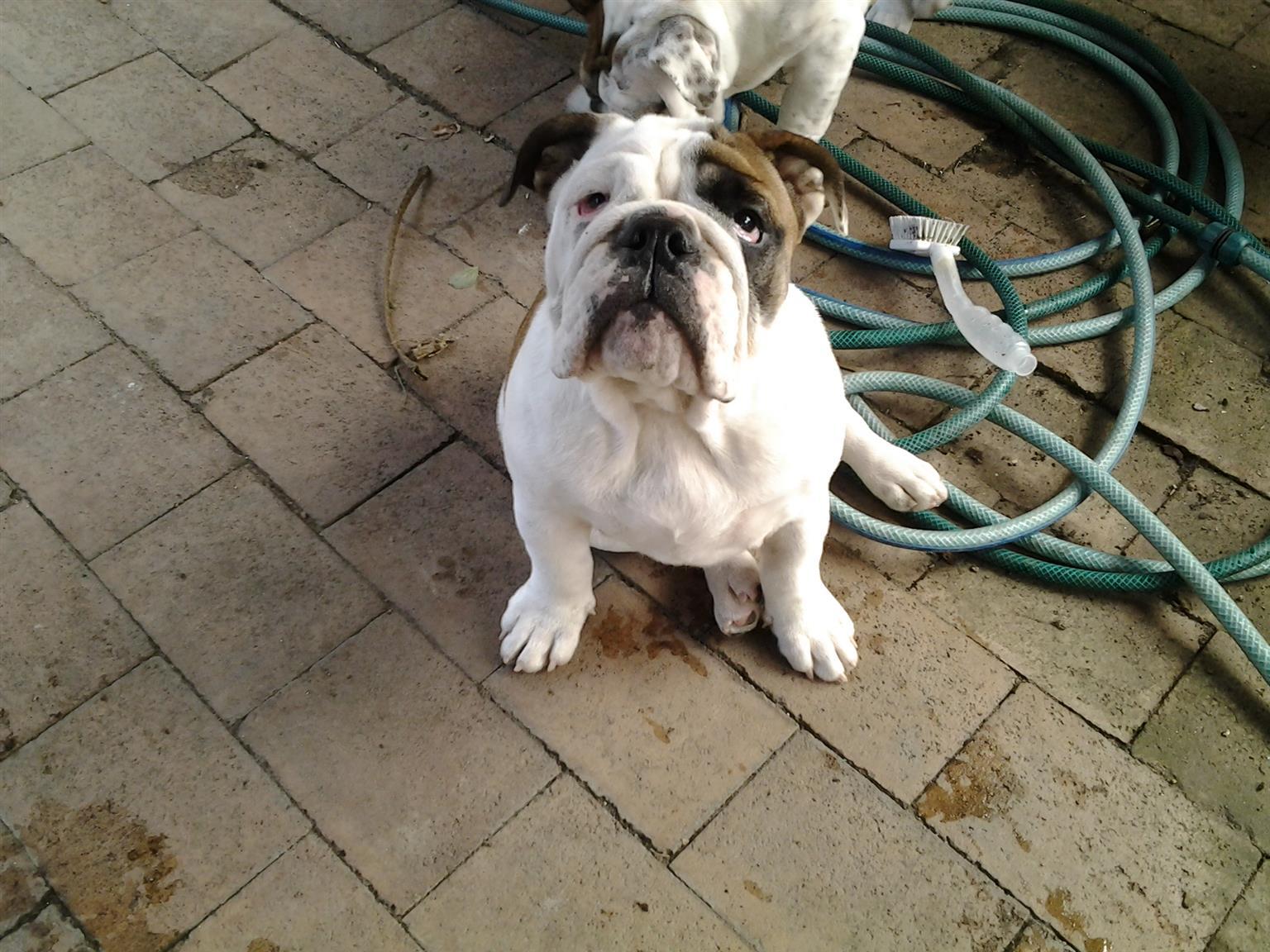 "English Bulldog ""Queen"" for sale"
