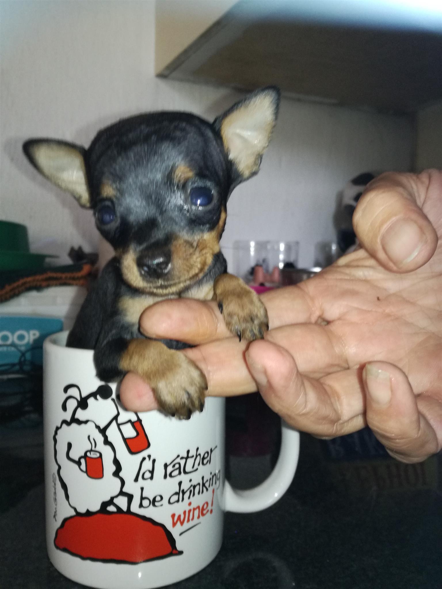 Teacup Miniature Pinscher