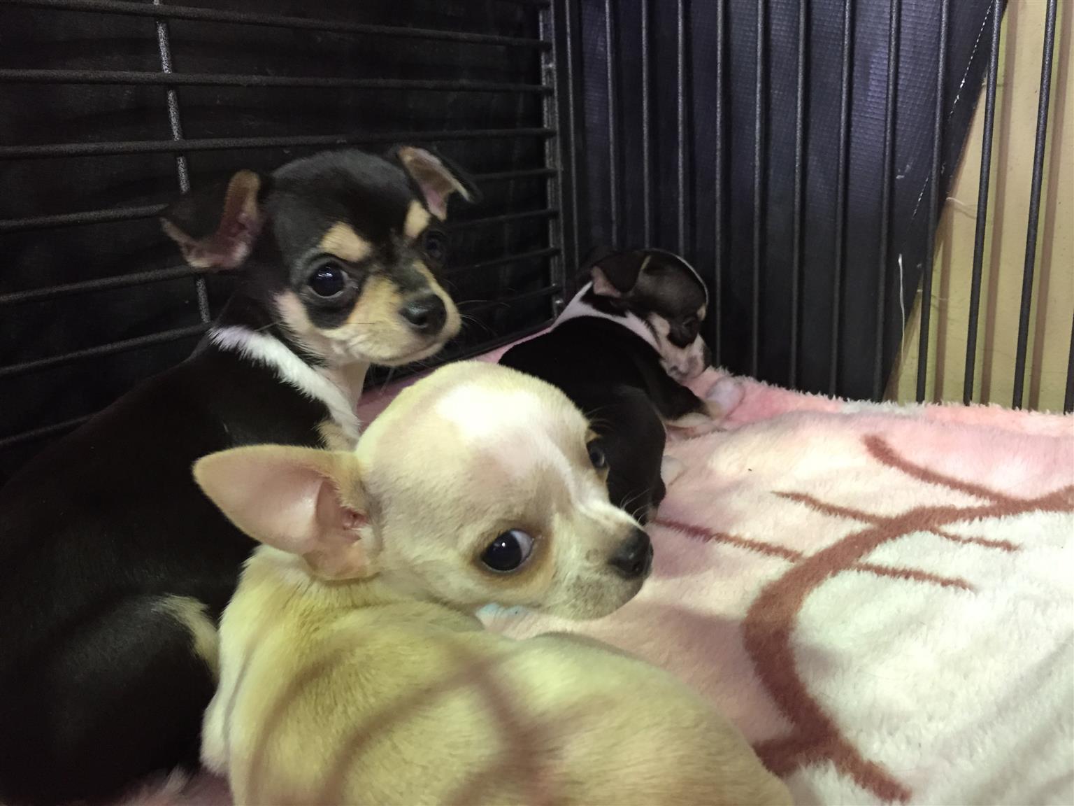 Chihuahua puppies R2800
