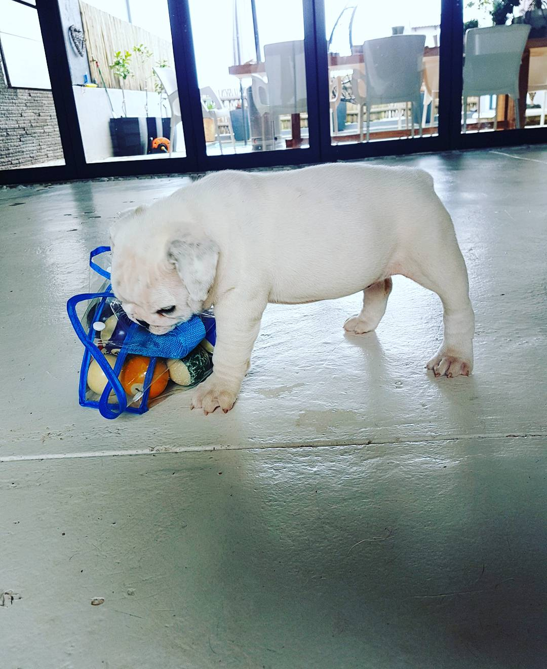 Beautiful KUSA Registered English Bulldog Puppies