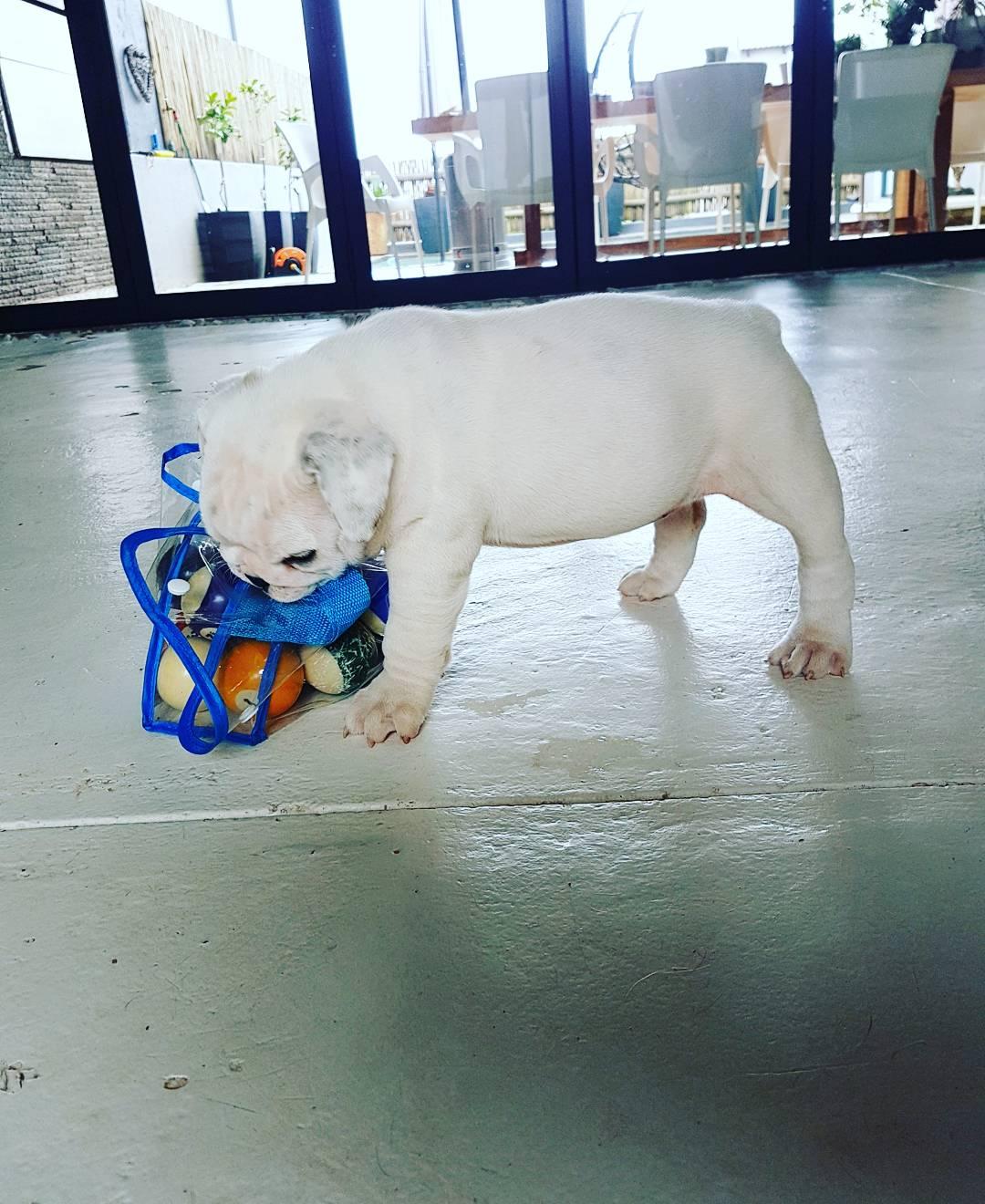 Beautiful KUSA Registered English Bulldog Puppies