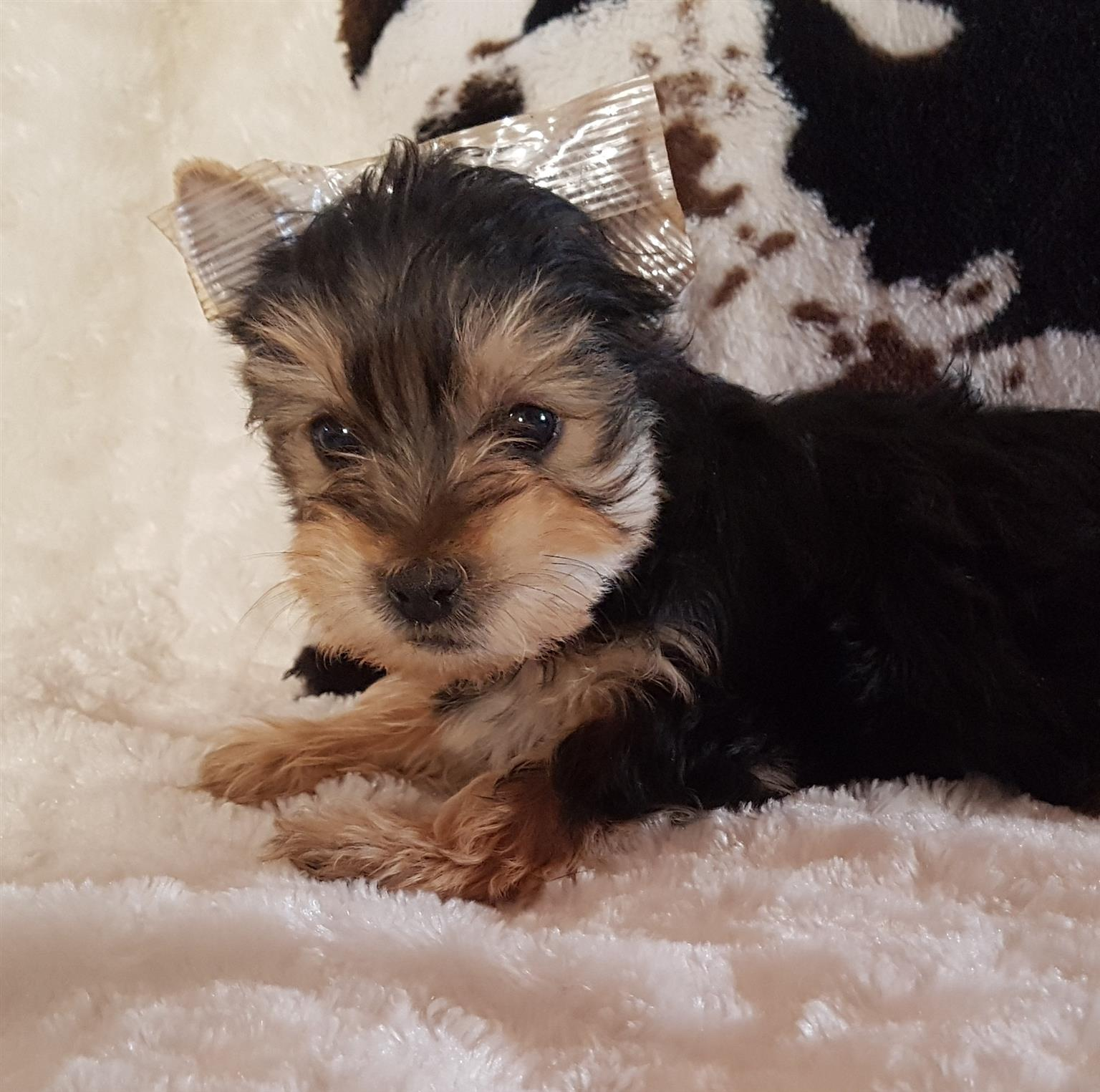 Beautiful male Yorkies ready to be rehomed.