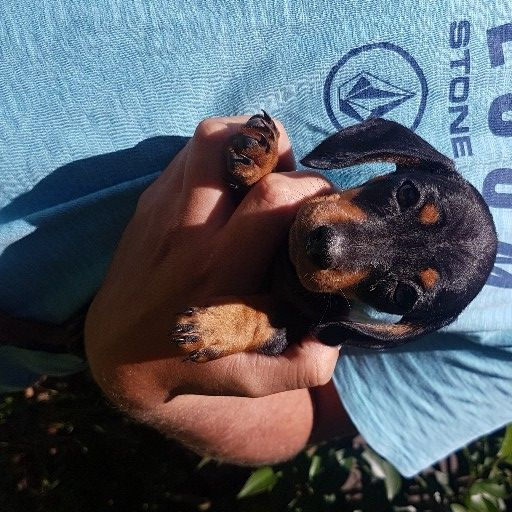 Miniature Black and Tan Dachshund puppies
