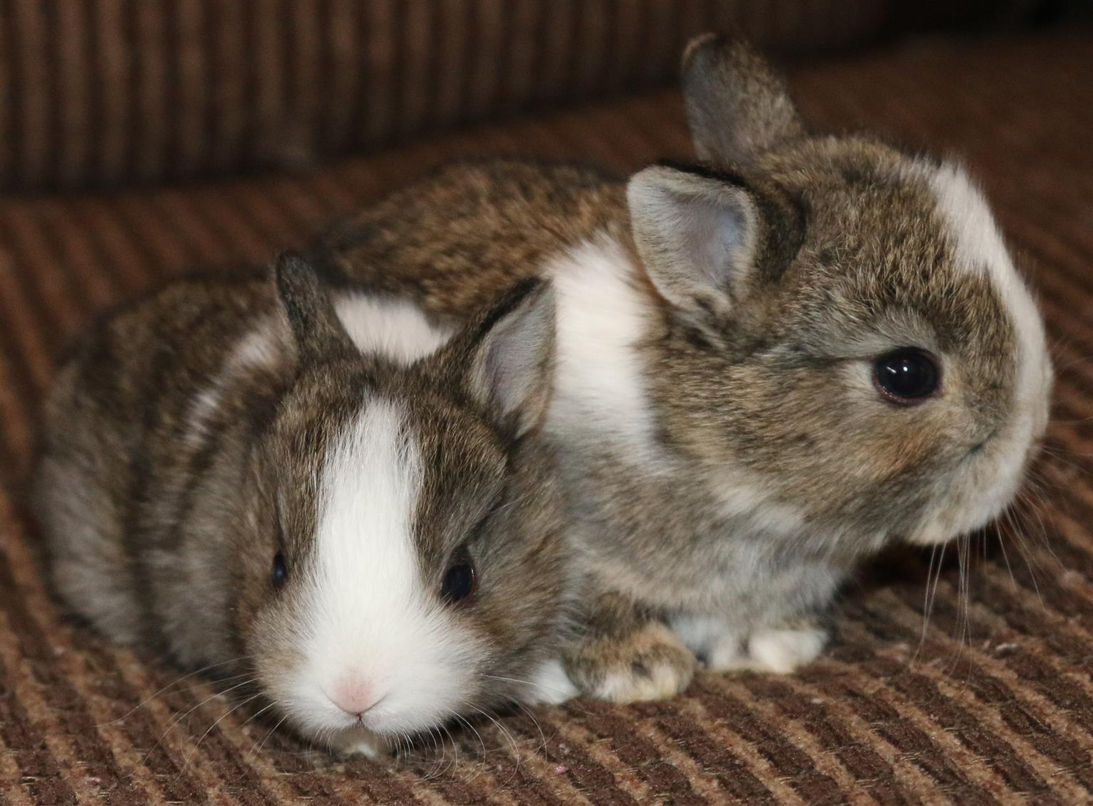 Angora dwarf & Netherland dwarf bunnies for sale - very cute!