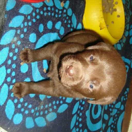 KUSA reg Labrador chocolate black and yellow pups