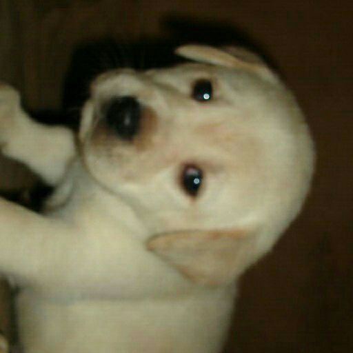 KUSA reg Labrador chocolate black and yellow pups