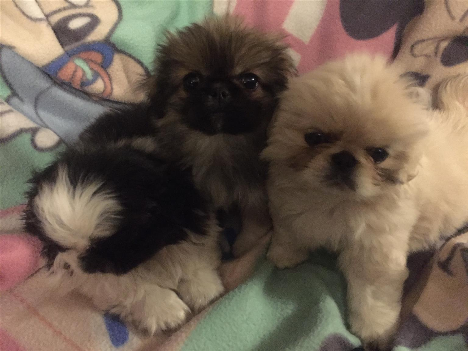 Pure Breed Pekingese