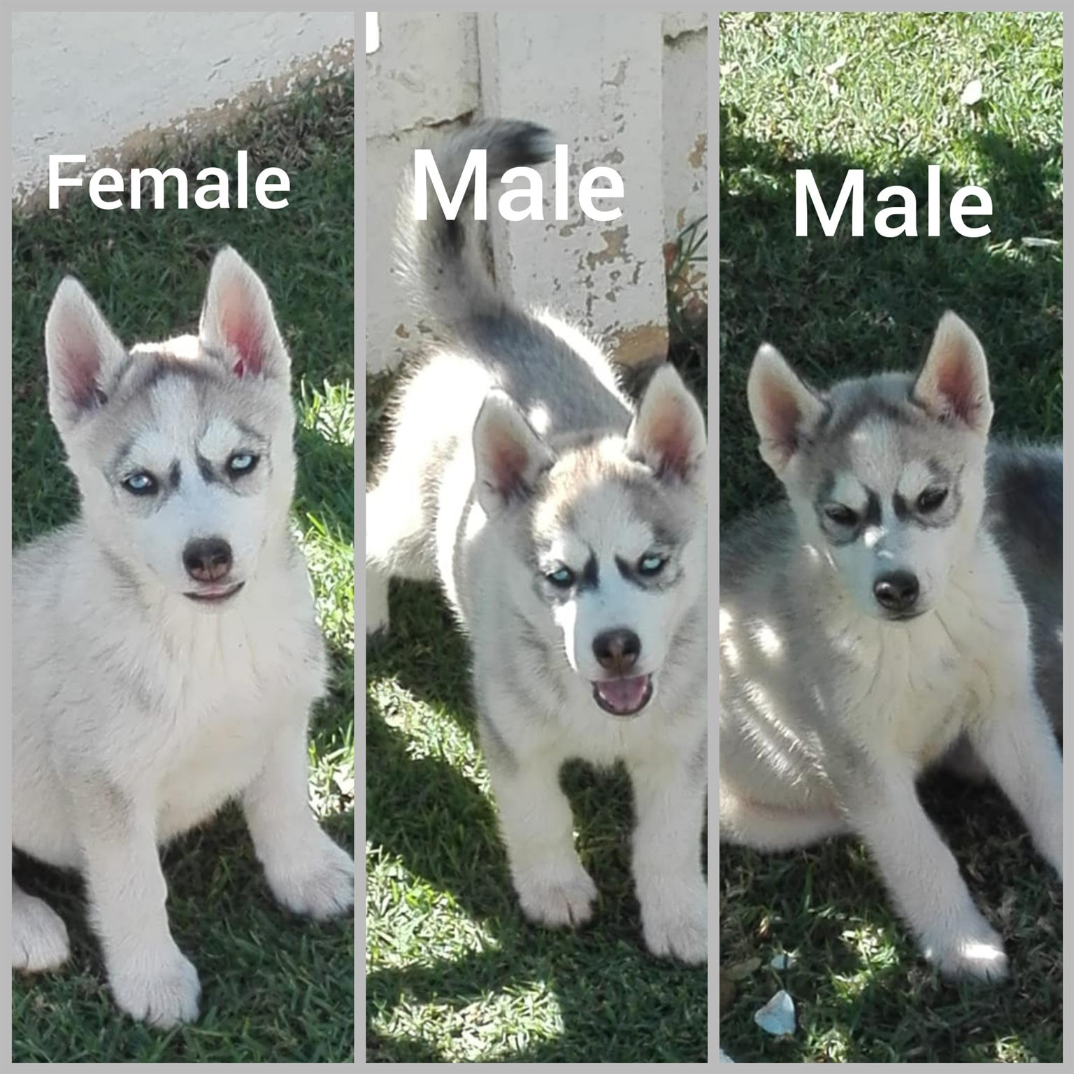 Siberian husky puppies (blue eyes)