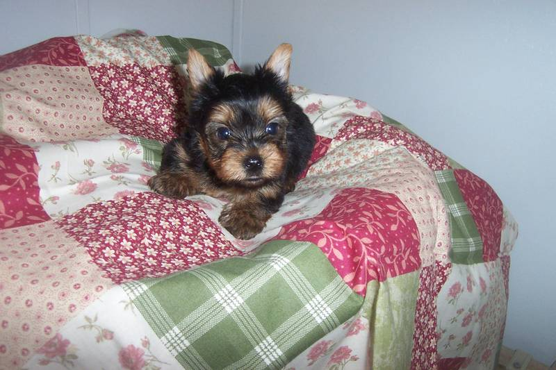 Yorkies  puppies ready