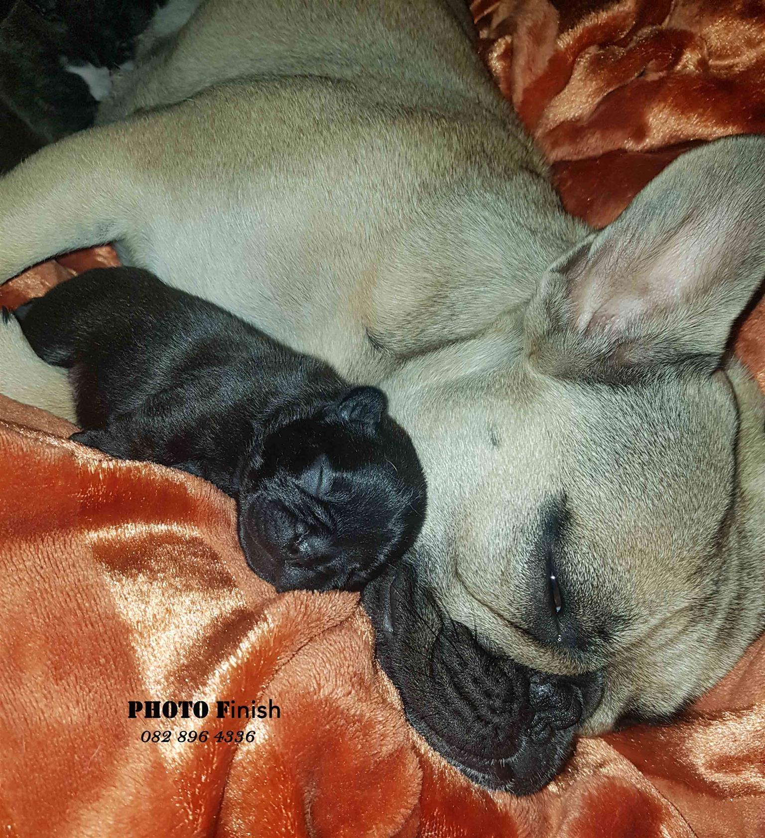 KUSA Registered French Bulldog puppies