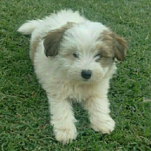 Toypom/Poodle cross puppies