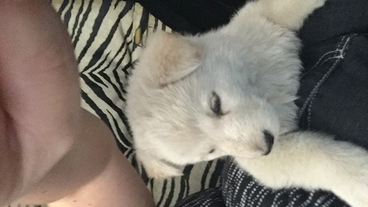 White Alsation Puppy