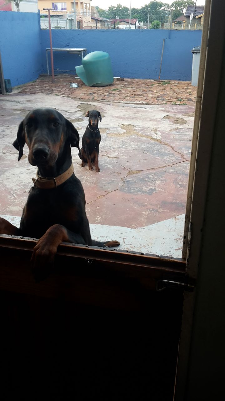 Large Breed Doberman pups