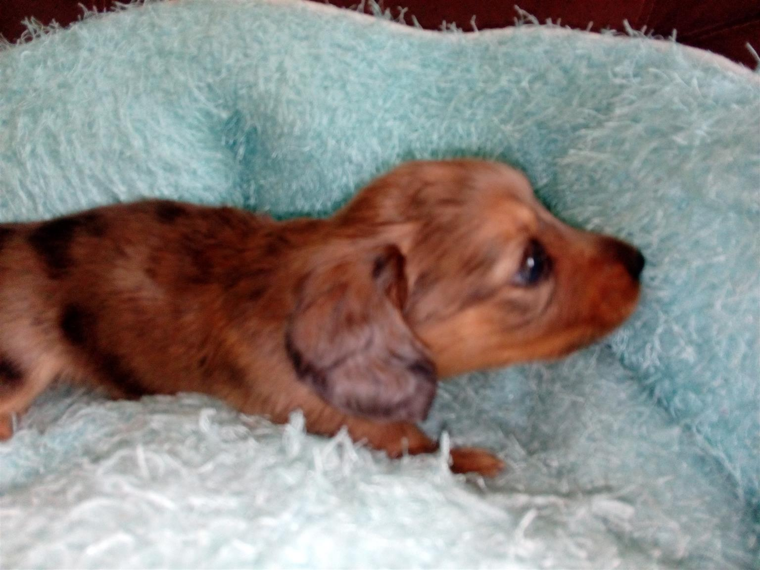 Longhaired Mini Dachshund