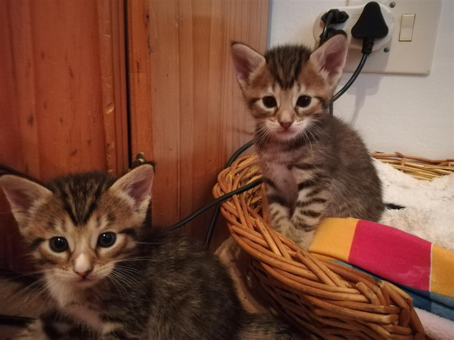 Plaful kittens