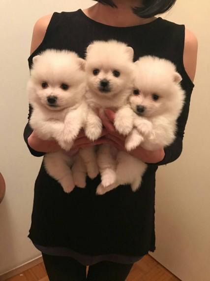 Toy Pomeranian Puppies
