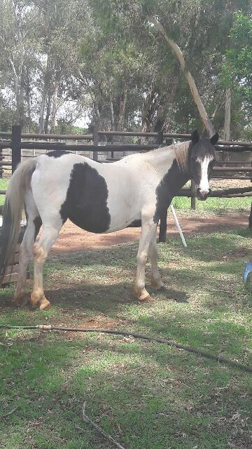 Beautiful Piebald pinto mare