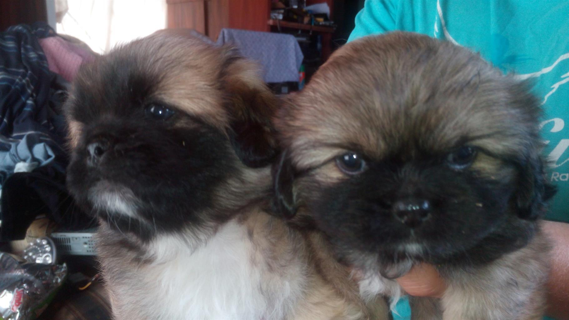 pekingese puppys 8 weeks old