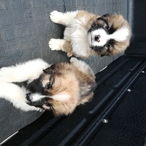 St Bernard male and female pup
