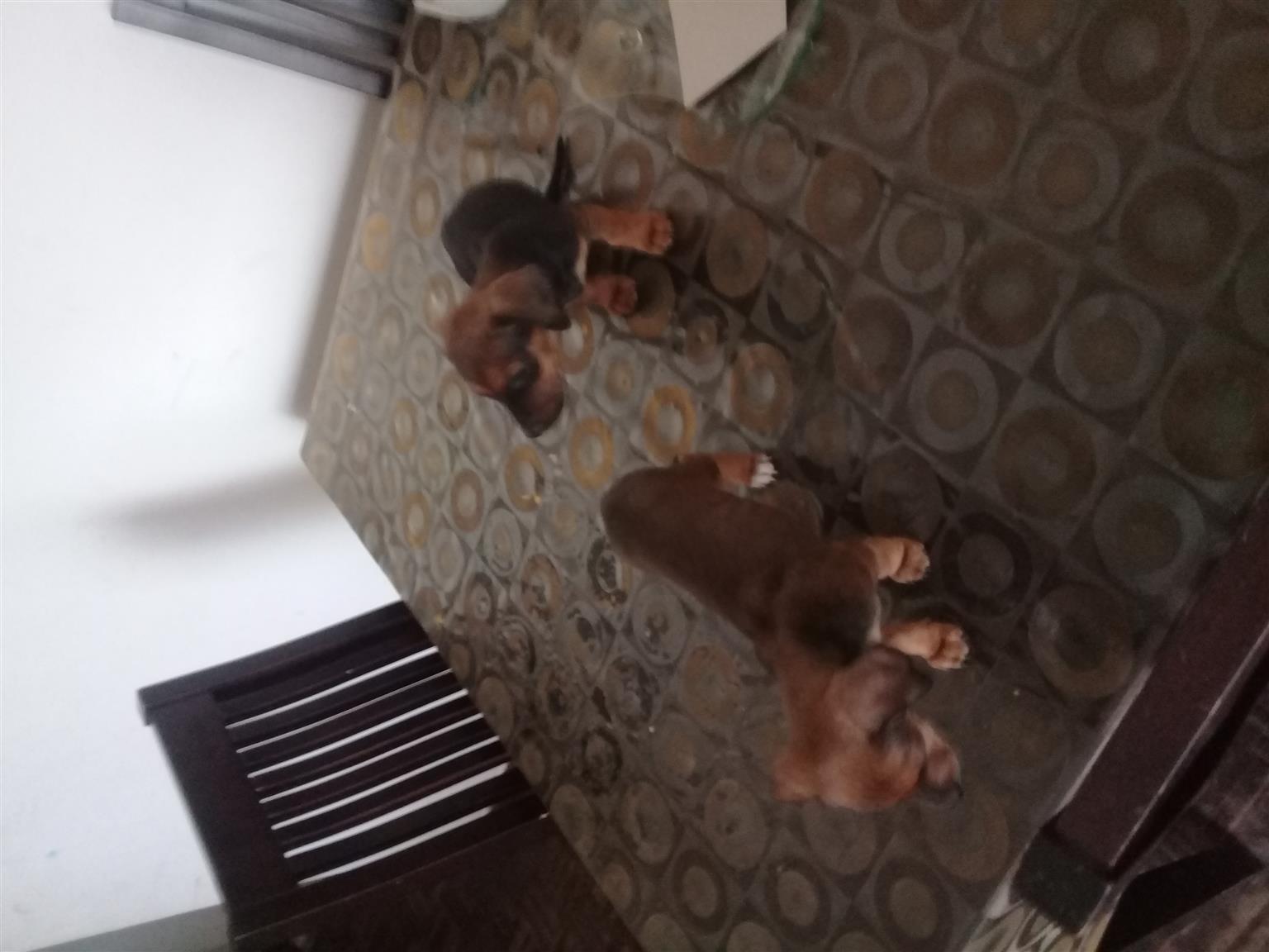 Miniature Dachshund Female Pups