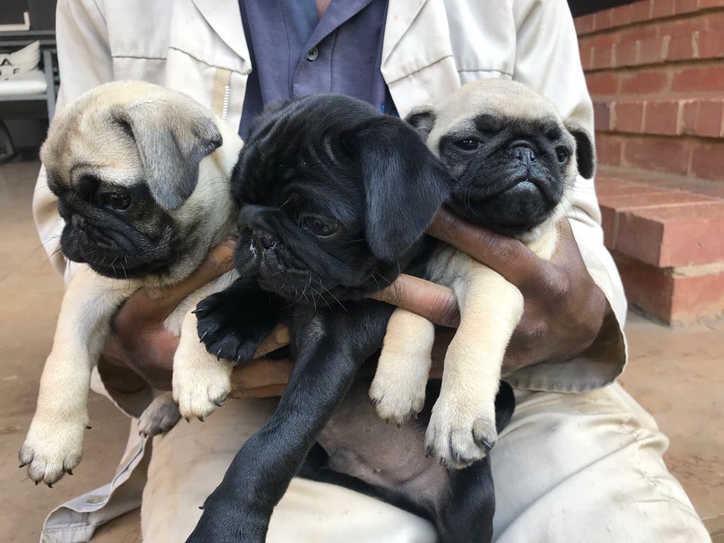 3 Pug puppies for sale