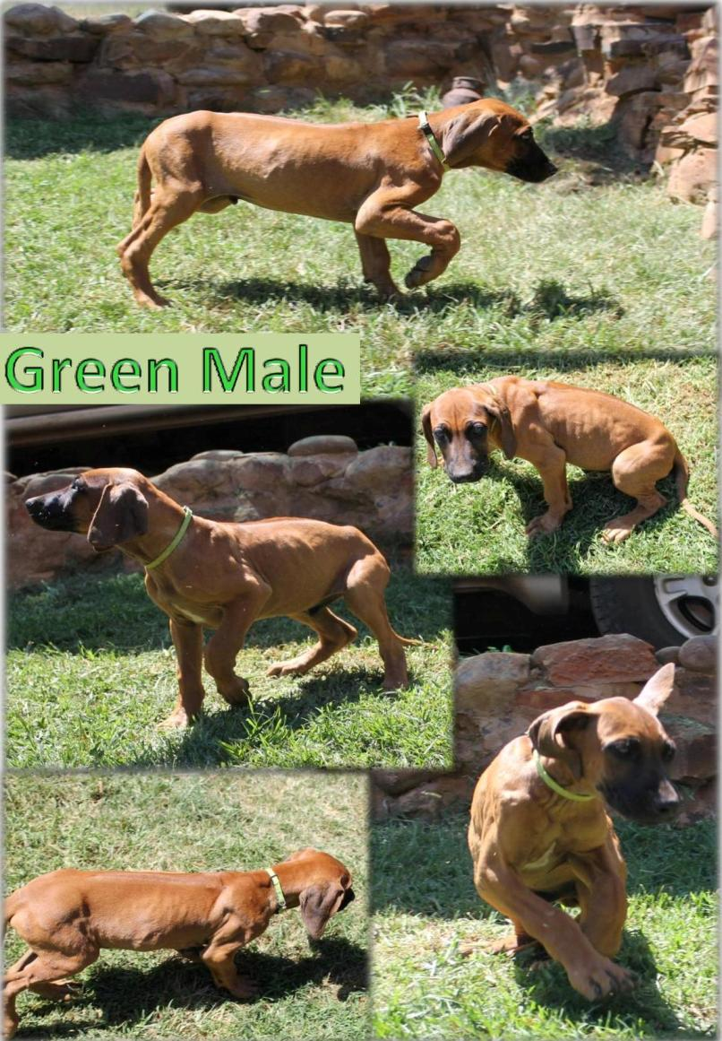 Strong and Big Rhodesian Ridgeback Puppies for sale