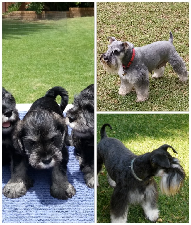 Schnauzer miniature puppies