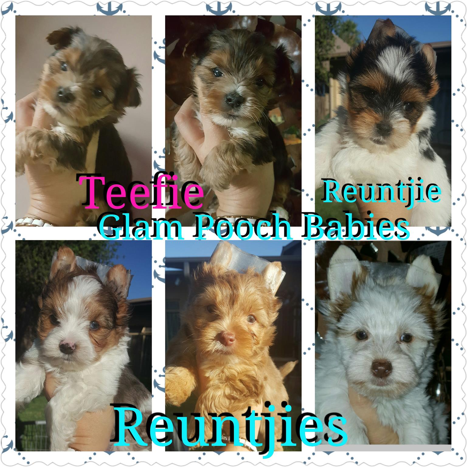 Registered yorkshire terrier puppies for sale