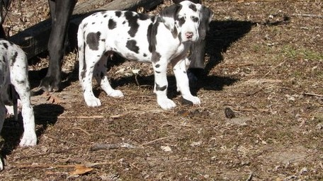 Exceptional Great Dane Puppies