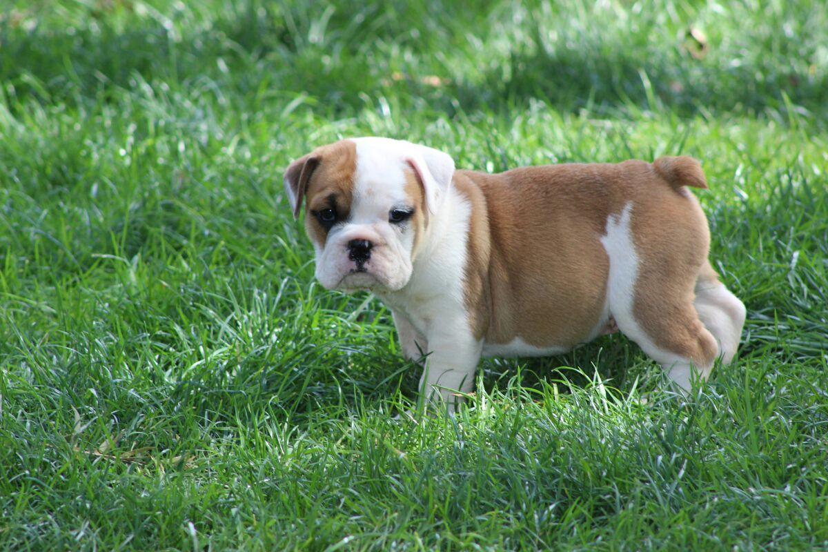KUSA Registered English Bulldog puppies for sale