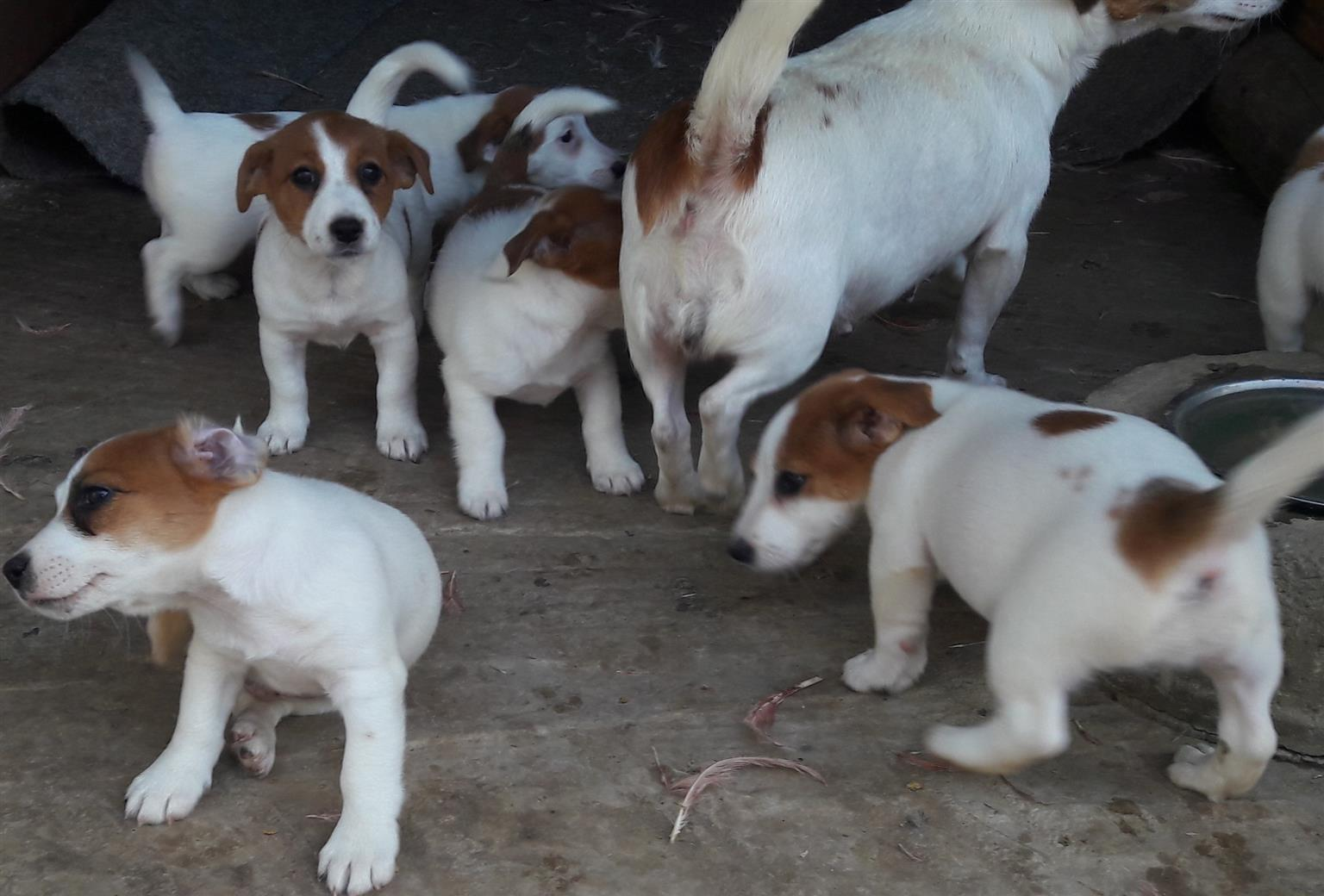 Jack Russel puppies Registered de wormed Vac cinated