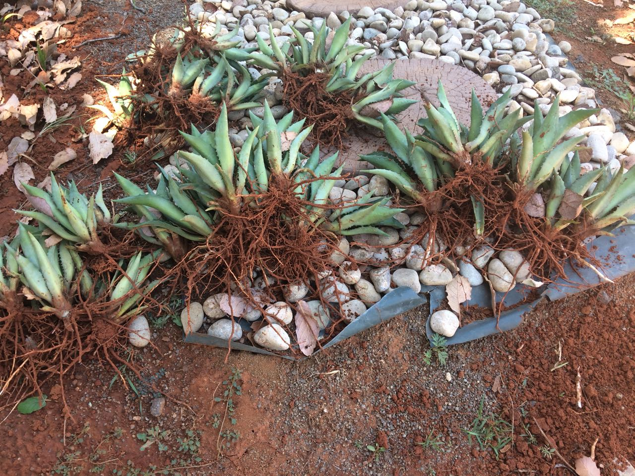 Water-wise Agave plants