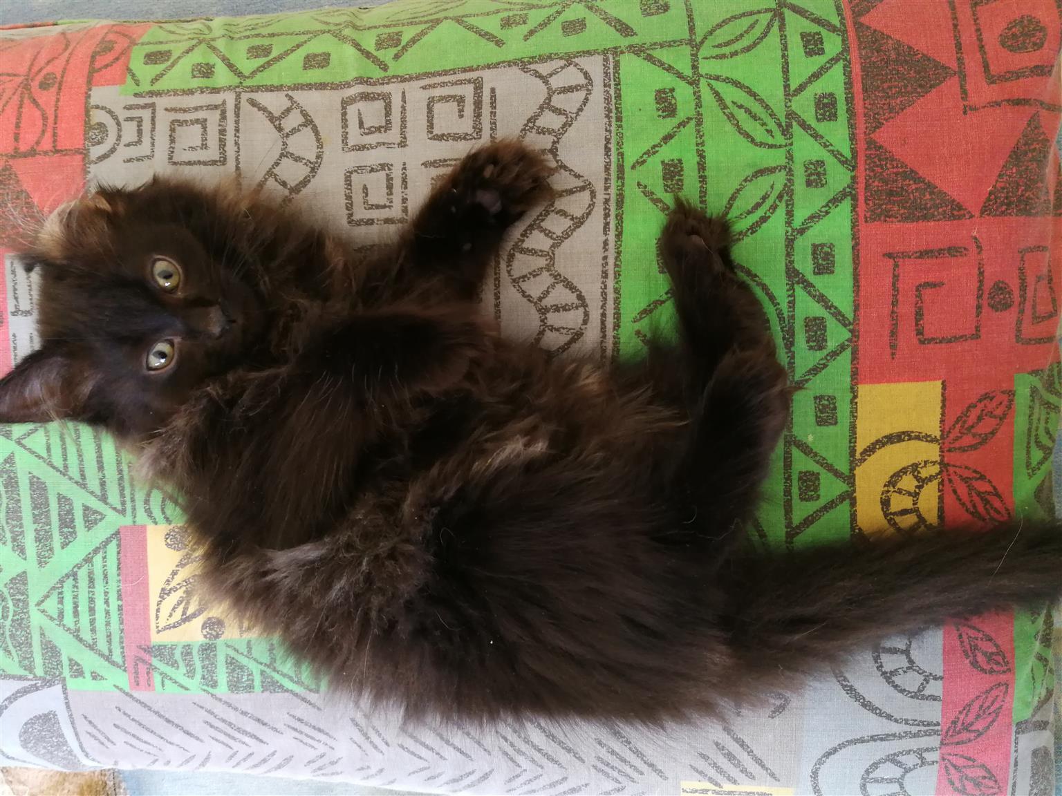Ragdoll kittens black