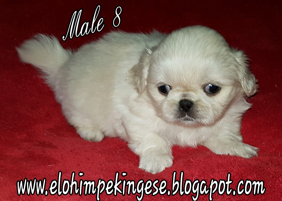 PEKINGESE MINIATURE PUPS FOR SALE