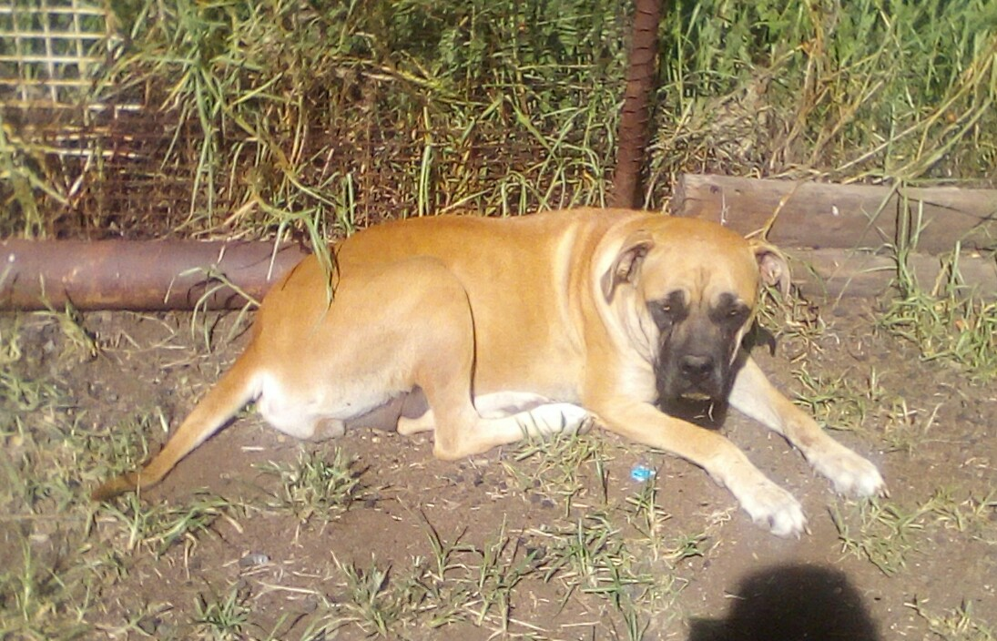 Boxer X Bull Mastiff female