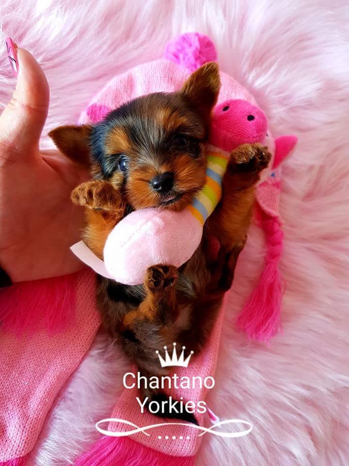 Teacup Yorkshire terrier girl