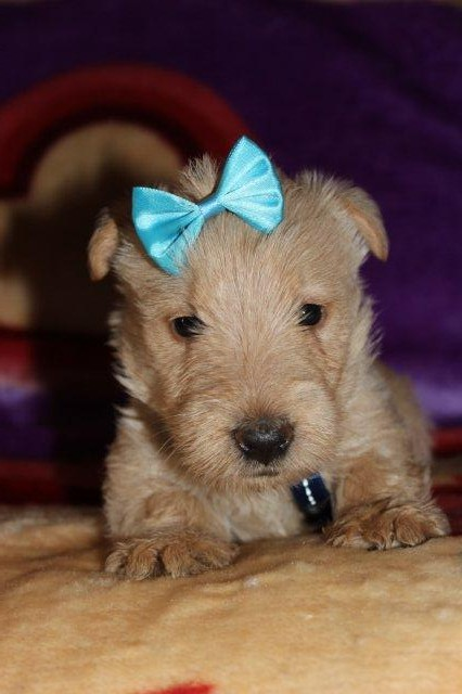 KUSA registered male Scottish Terrier puppies for Sale