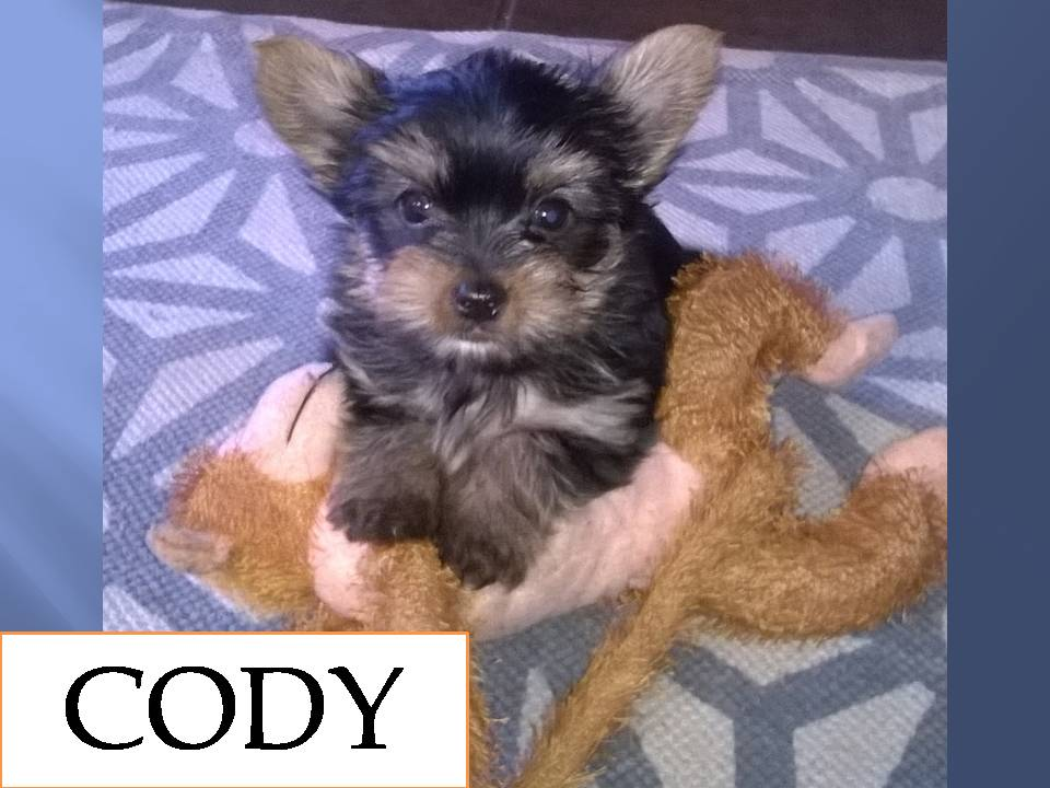 Purebred / Pedigree Yorkshire Terrier Puppies for sale