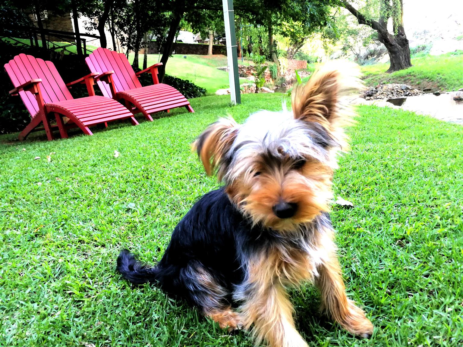 Male Yorkshire Terrier 1 Year old