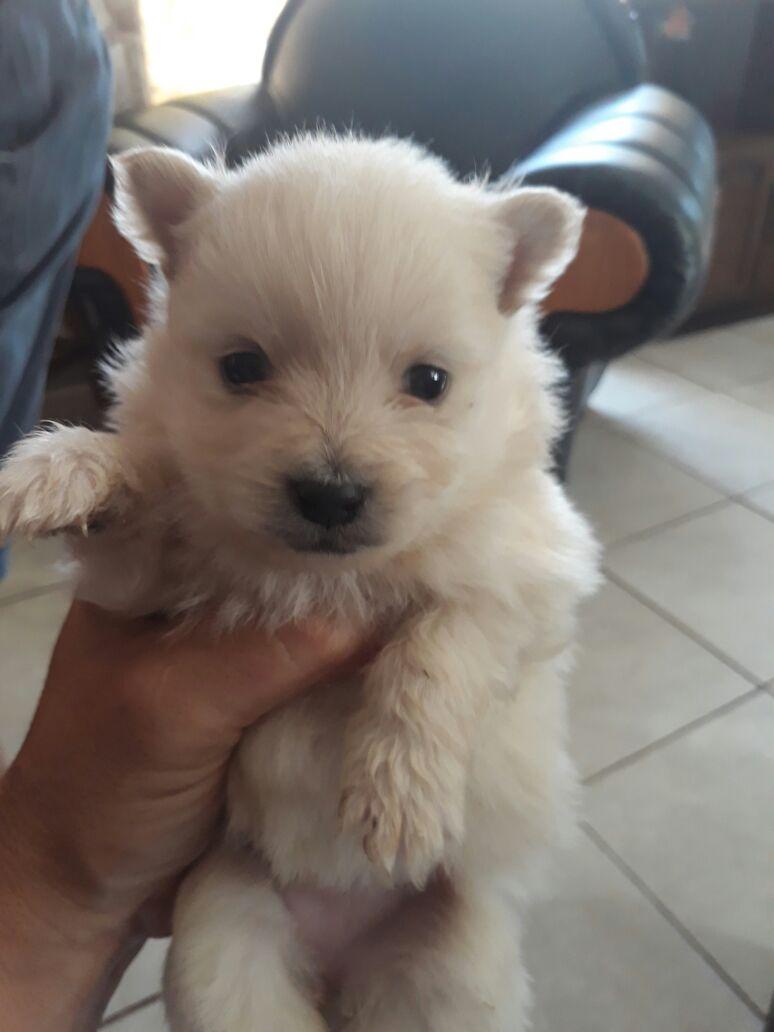 Toypom Pomeranian