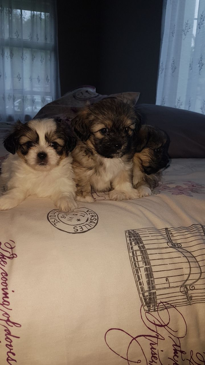 Shihtzu puppies